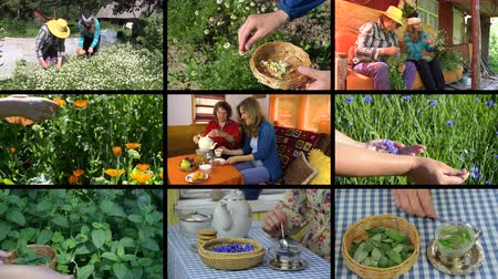 black tea : Woman hands gather herb plants and granddaughter with grandmother drinking herbal tea. Montage of video clips collage. Split screen. Black angular frame. 4K UHDTV 2160p Stock Footage
