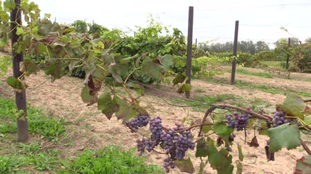 juicy stake : blue organic ripe grape plantation branch entwine on stake outdoor. Sliding Shot . Full HD 1080p. Dolly camera movement. Stock Footage
