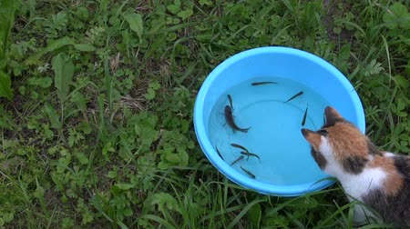 evcil hayvanlar : Curious cat catch fish from blue plastic bowl with water. Cute playful pet hunt food. Closeup shot Full HD 1080p. Progressive scan 25fps. Tripod.