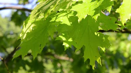 ветер : Bright wet decorative oak tree branch twig leaves move in early morning wind.