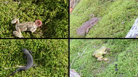 triton : Toad, frogs and newt triton. Amphibia animals walking and eating worm on moss. Montage of video footage clips collage. Split screen. Black angular frame. 4K UHDTV 2160p Stock Footage
