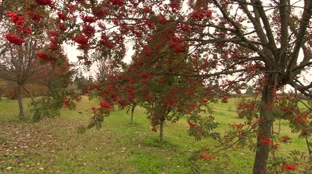 sorbus : rowan tree with red small berry on autumn time. Sliding Shot. Full HD 1080p. Dolly camera movement.