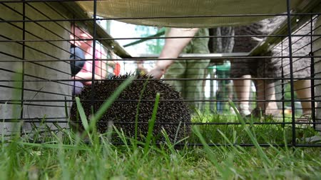 еж : Hedgehog animal closeup in captivity cage and people touching it. Стоковые видеозаписи