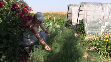 slayt : Gardener woman pick healthy natural dill plants in ecologic garden. Stok Video