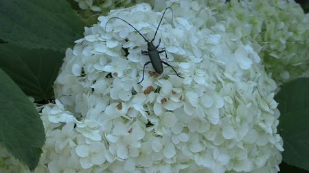 ortanca : black beetle bug with long mustache walk on hydrangea flower white blooms. Shot. Full HD 1080p. Progressive scan 25fps.
