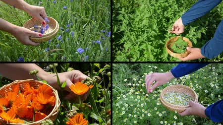 herbalist : Woman hands gather blue cornflower green mint orange marigold and yellow chamomile herb flower blooms. Montage of video clips collage. Split screen. Black angular frame. Full HD 1080p.