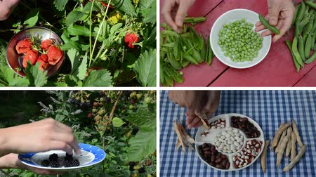 ervilhas : Hands harvest healthy natural strawberry blackberry berries and legume peas and beans. Montage of video footage clips collage. Split screen. White angular frame. 4K UHD 2160p