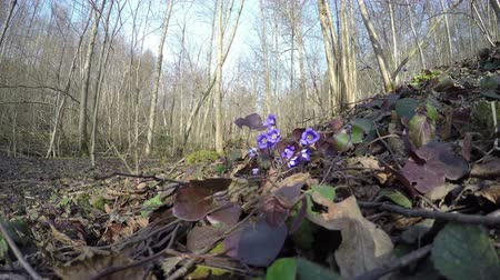gerekçesiyle : first early spring flower hepatica grow in the forest between the dry leaves. 4K UHD wide angle shot. Stok Video