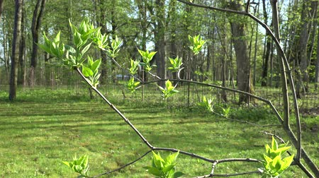 garner : first spring buds leaves on lilac tree branch twig. Static shot. 4K UHD video clip.