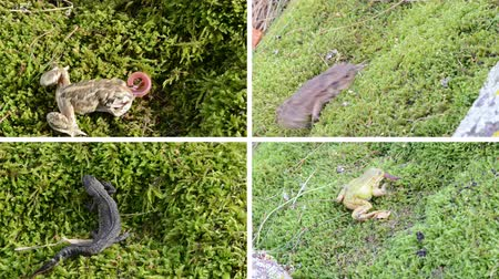 amphibia : Toad, frogs and newt triton. Amphibia animals walking and eating worm on moss. Montage of video footage clips collage. Split screen. White angular frame. 4K UHD 2160p Stock Footage