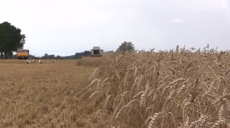 kombájn : Ripe wheat ears move in wind and combine harvester machine harvesting. Truck and stork birds. Focus change shot on Canon XA25. Full HD 1080p. Progressive scan 25fps. Tripod.