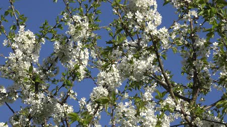 şaşırtıcı : Cherry fruit tree branches twigs with white blooms in spring time on blue sky background. Amazing seasonal blossom in garden. Zoom out shot. 4K UHD video clip.