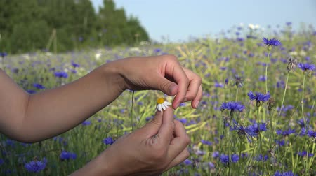 суеверие : Teenager girl guesses on chamomile near blue cornflower field on nature in summer. Woman hands tears off petals of daisy flower. Static closeup shot. 4K