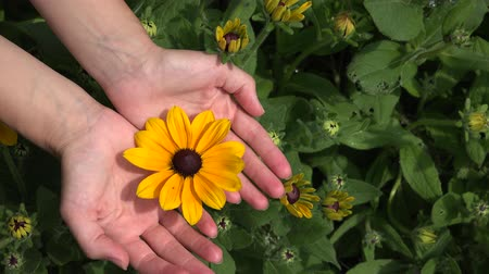 blooms : Female girl show rudbeckia flower bloom hidden in arms. Plant from sunflower family. Static closeup shot. 4K