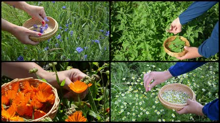 fodormenta : Woman hands gather blue cornflower, green mint, orange marigold and yellow chamomile herb flower blooms. Montage of video clips collage. Split screen. Black round corner frame. 4K UHD 2160p Stock mozgókép
