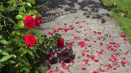 pétala : Red rose flower blooms and fallen petals on the ground stone path in garden yard. Static closeup shot. 4K