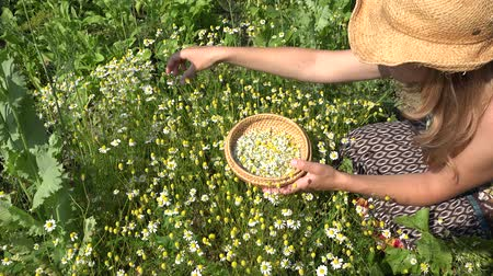herbalist : Female woman with wicker hat pick camomile herbal flower blooms to wooden dish in summer garden. Alternative medicine. Herbalist girl. Zoom in shot. 4K Stock Footage