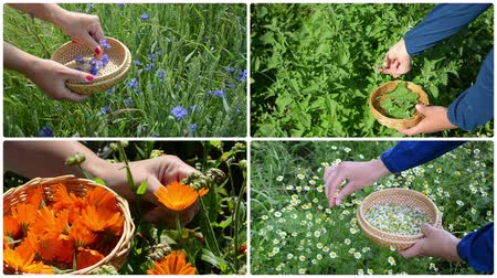 herbalist : Woman hands gather blue cornflower, green mint, orange marigold and yellow chamomile herb flower blooms. Montage of video clips collage. Split screen. White round corner frame. 4K UHD 2160p Stock Footage