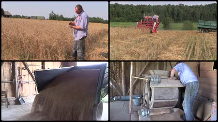 ayarlamak : Farmer check harvest and sift wheat plants. Red combine harvester. Grain unload from truck. Agriculture works. Montage of video clips collage. Split screen. Black round corner frame. 4K UHD 2160p Stok Video