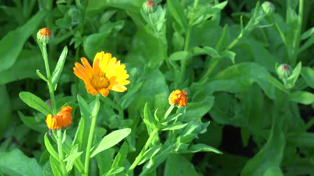 calendula officinalis : Marigold (Calendula officinalis). Herbal flower blooms grow in garden plantation. Static closeup shot. 4K Stock Footage