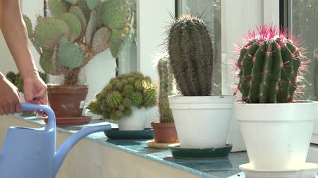 konewka : Big cactus plants grow in greenhouse and woman hands with can watering plants. Static closeup shot.