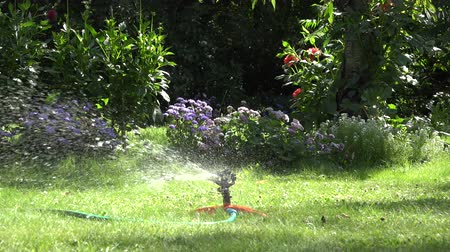 squirting : Gardener man guy plug water hose to special watering equipment tool sprinkler and water starts to spray on flowers and lawn in summertime garden. Static shot. 4K