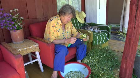 herbalist : Old herbalist grandmother woman pick camomile flower blooms for herbal medicine and tabby cat sleep on outdoor armchair. Static shot. 4K