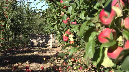 pomar : red apples hanging on branch and wooden boxes full of fruits at orchard. Focus change shot. 4K