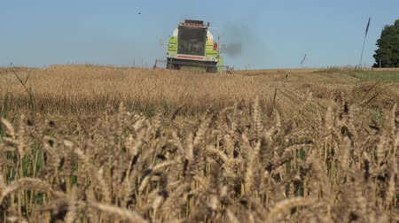 thrash : BIRZAI, LITHUANIA - AUGUST 18, 2015: farmer worker man driving thresher harvester machine working in wheat field on August 18, 2015 in Birzai, Lithuania. Ripe ears move in wind. Static shot. 4K Stock Footage