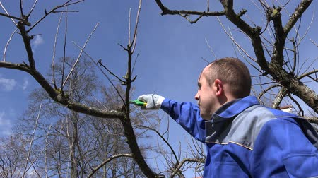 secateur : Man trim prune fruit tree twigs with trimmer in garden. Hand shot Stock Footage