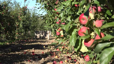 dożynki : tree with red apples in eco orchard at harvest. Focus change. 4K