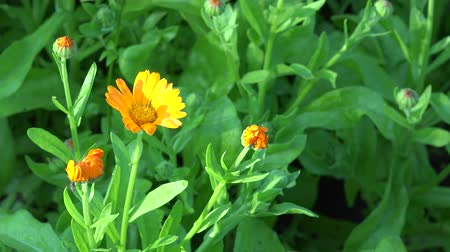 calendula officinalis : Marigold Calendula officinalis . Herb flower blooms move in wind. 4K