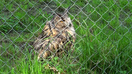 sowa : Cute bird horned eagle owl bubo bubo behind the fence in zoo zoological garden Wideo