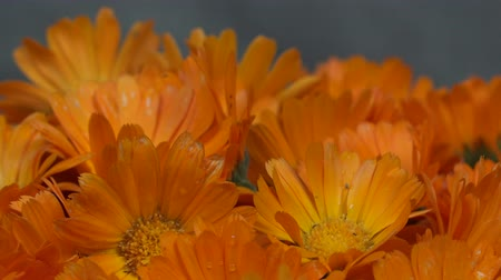 calendula officinalis : marigold calendula officinalis herb flower blooms. counterclockwise turntable.