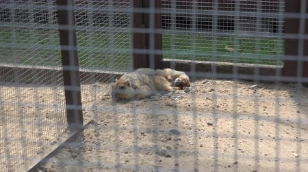 świnka morska : hamster and meerkat animals in zoo cages. Wideo