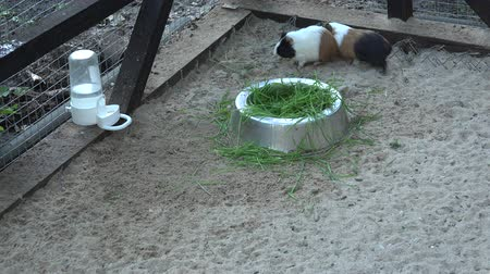 świnka morska : Cute playful guinea pigs play on sand in zoo cage
