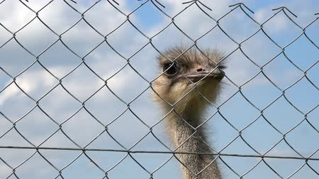 pštros : common ostrich animal head behind zoo fence on cloudy sky background