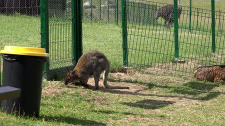 wallaby : Kangaroo animals fenced in zoological garden.