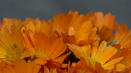 calendula officinalis : marigold calendula herb flower blooms. clockwise turntable. Stock Footage