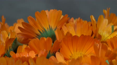 calendula officinalis : marigold herb flower blooms. clockwise turntable.