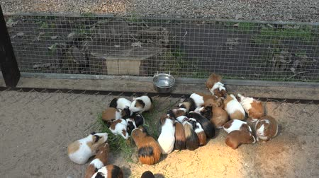 świnka morska : guinea pigs on sand eating food from bowls in zoo Wideo