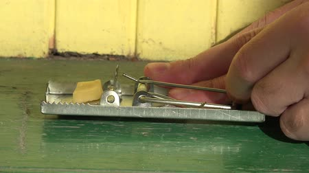 rodent control : Male hand pluck large piece of cheddar cheese placed as bait in mouse trap. 4K Stock Footage