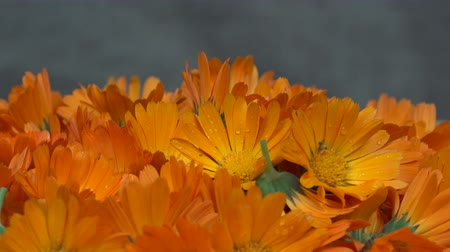 calendula officinalis : marigold calendula officinalis herb flower blooms. turntable