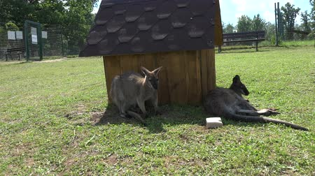wallaby : Kangaroo animals lie n grass near wooden house in zoological garden