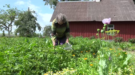 mosqueado : old woman gather colorado beetle from potato plant  garden. 4K