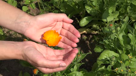 calendula officinalis : Woman hands show marigold flower bloom hidden in arms. 4K