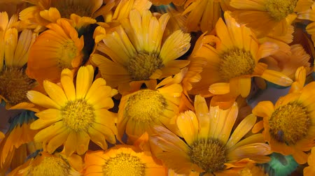 calendula officinalis : marigold calendula officinalis herb flower blooms. anticlockwise turntable.