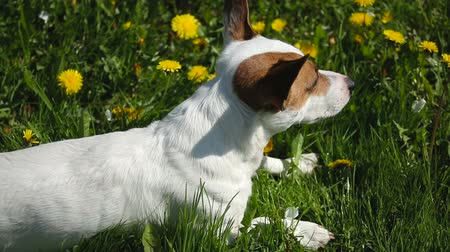 animais e animais de estimação : Jack Russell Terrier sits on meadow with grass