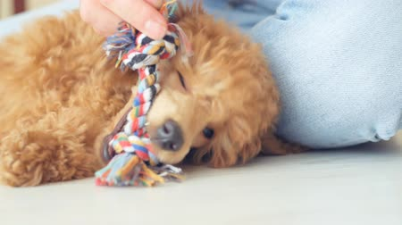 obsessive : Fun puppy poodle playing with his toy.