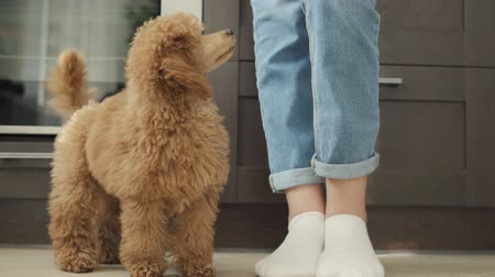 obsessive : Cute puppy poodle, very fun stands jumping.